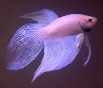 When Bettas Jump The Tank Fish Care