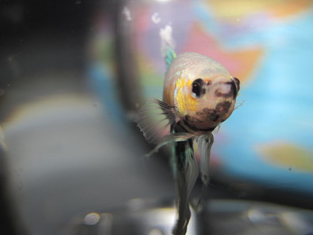 Betta fish names fish care for Betta fish names