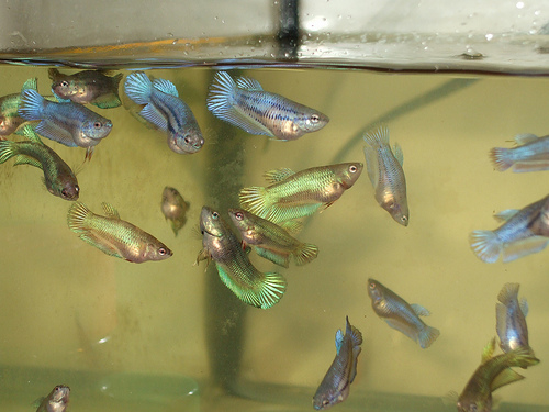 Female bettas sorority sisters fight too betta fish care for Baby betta fish