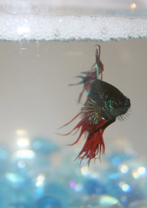 Bubble nests betta fish care for Betta fish personality