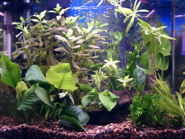 how to clean a betta fish tank with live plants