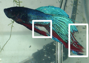 Fin Rot in Betta Fish