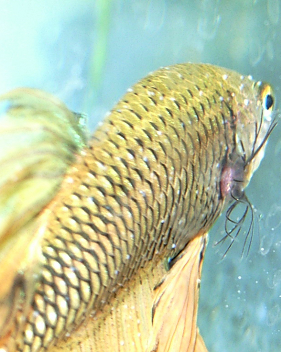 Ich (White Spot Disease) on Betta Fish