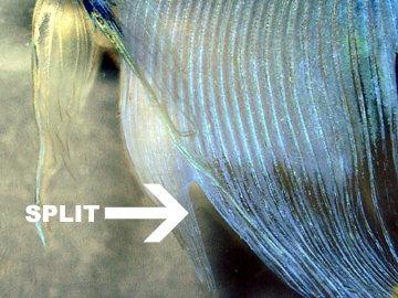 Split Fin in Betta Fish
