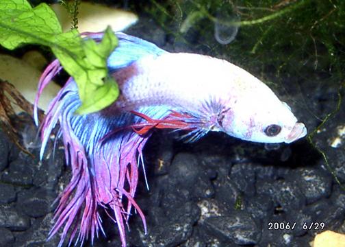 Behavior fish care for Betta fish behavior