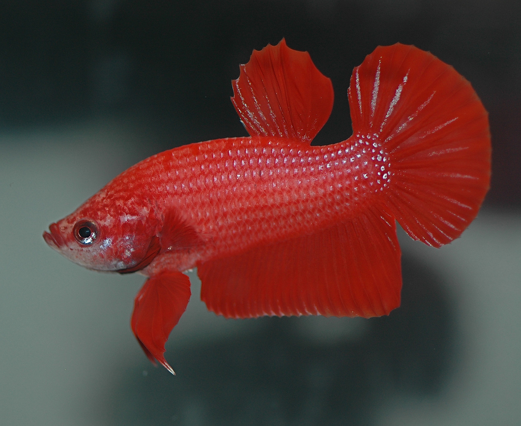 Red Betta by Daniella Vereeken