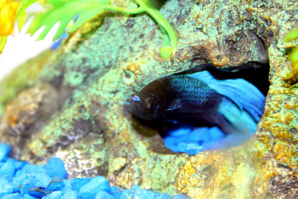 Betta Fish by N1NJ4