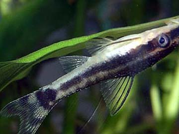 Otocinclus Catfish