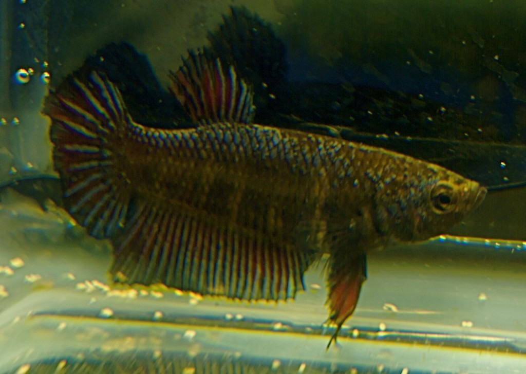 Female Betta Showing Breeding Stripes