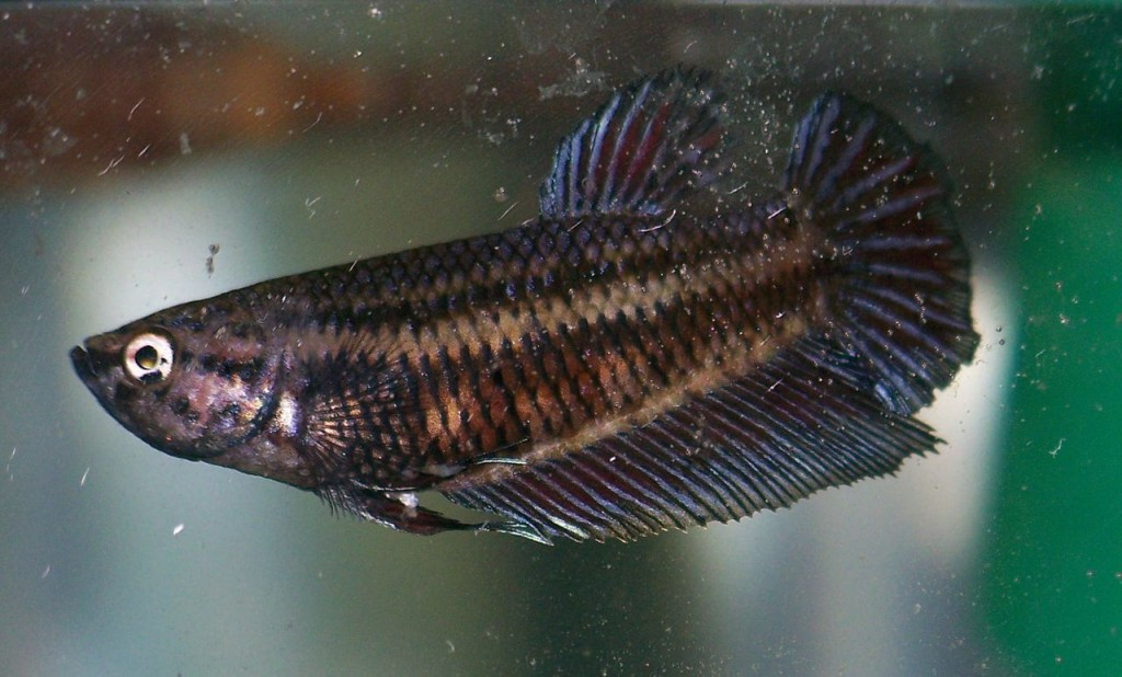 Breeding or fear stripes betta fish care for Fish that get along with betta