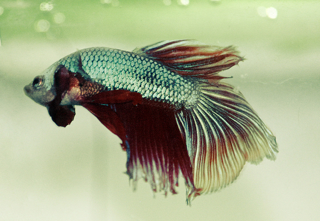 Betta fish life span betta fish care for Sick betta fish