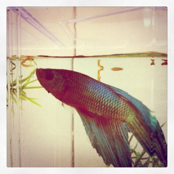 Betta Eating Bloodworm