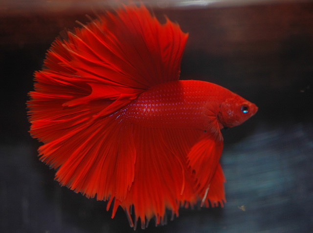Red Halfmoon Betta
