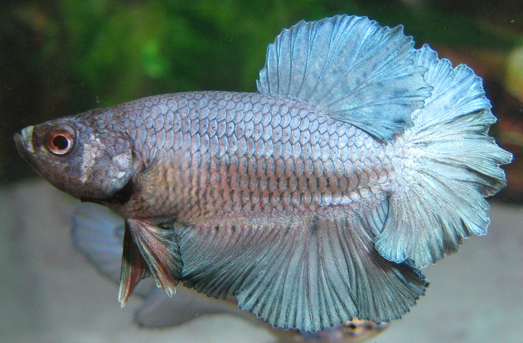 Steel Blue OHM Rosetail Betta