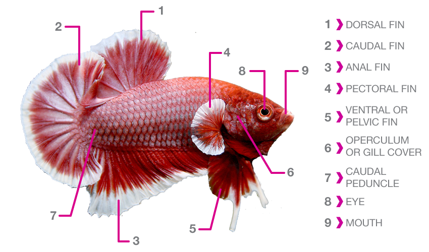 Betta fish anatomy fish care for Cotton wool disease in fish