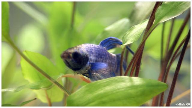 Betta in Planted Aquarium