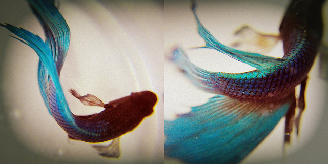 Swimming Veil-tail Betta