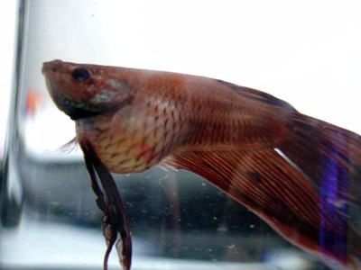 Betta with Severely Swollen Abdomen | Fish Care