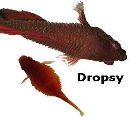betta-fish-dropsy-example