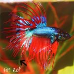 betta-fish-fin-rot