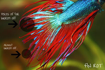 betta-fish-fin-rot-angle-2