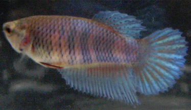 betta-breeding-stripes-example