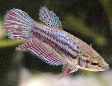 betta-fear-stripes-example