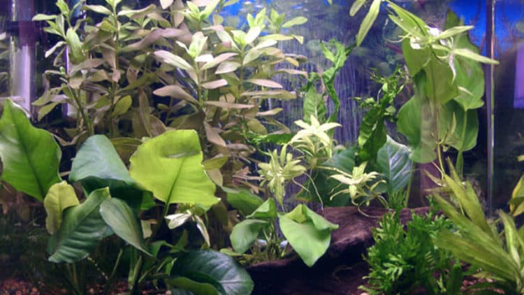 Low Light Plants for Betta Aquarium