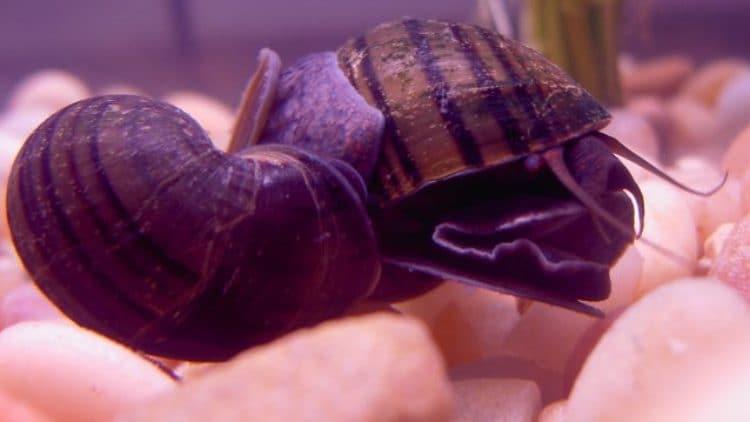 Apple Snails and Bettas