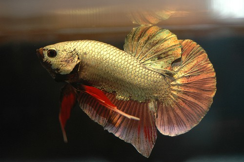 Betta fish for sale where to buy bettas fish care for Betta fish sale