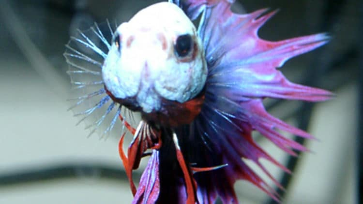 Advice Little Too Late for a Beautiful Betta