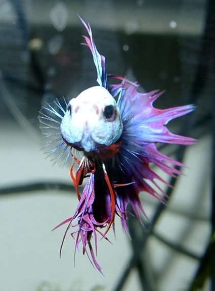 Distilled water may cause lethargy in bettas fish care for Betta fish behavior