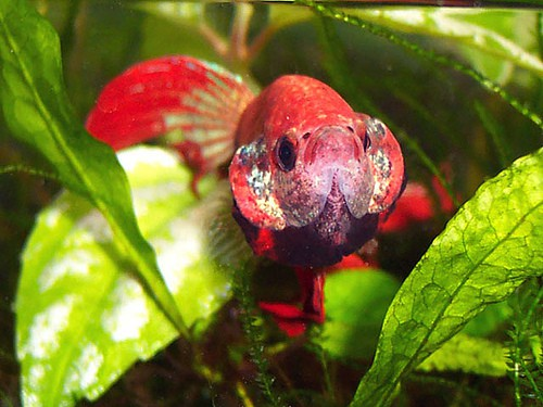 Sideways swimming betta fish care for Cotton wool disease in fish