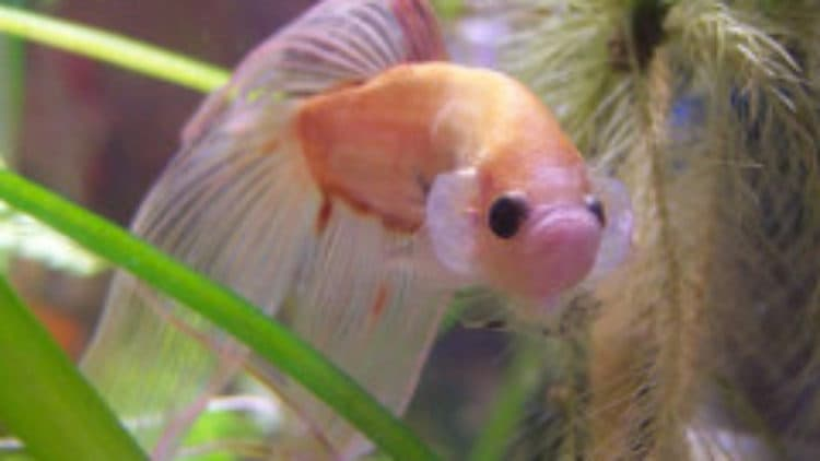 Betta Constantly Flaring in New Tank