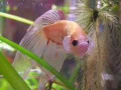 Betta constantly flaring in new tank fish care for Cotton wool disease in fish