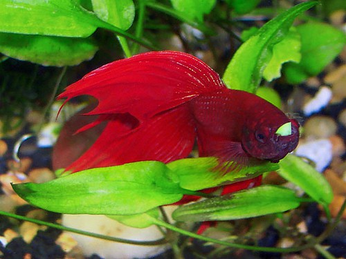 How To Prepare Pea For A Bloated Betta Fish Care