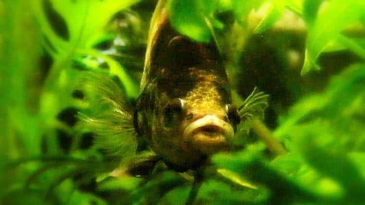 Skittish Betta Fish Too Fightened to Eat