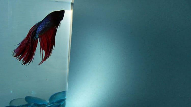 Betta Illness Develops After New Fish Arrive