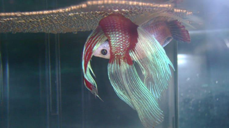 Betta Fish Breeding Injuries – Male Betta Wounded by Female Betta