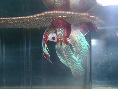 Betta fish breeding injuries male betta wounded by for Betta fish ich