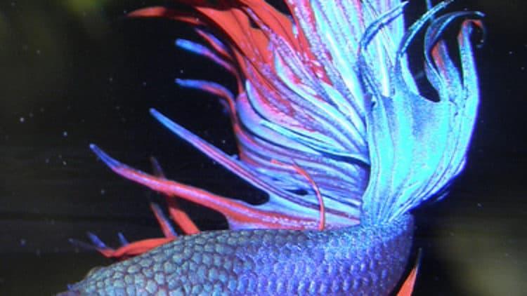 Top 5 Betta Fish Websites of 2009!