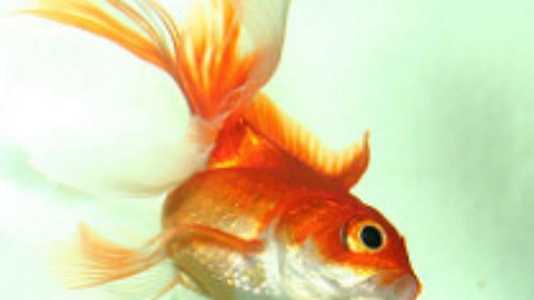Housing Bettas with Goldfish