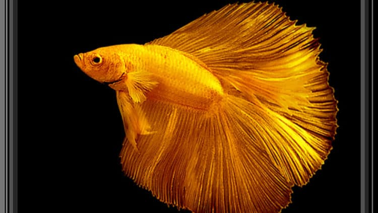 The 4 Most Common Signs of Illness in Betta Fish