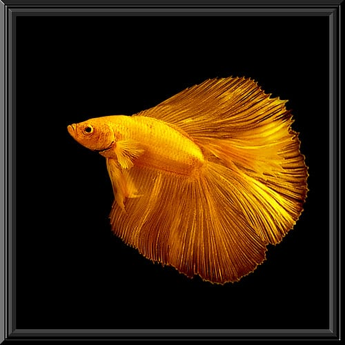 The 4 most common signs of illness in betta fish fish care for Sick betta fish