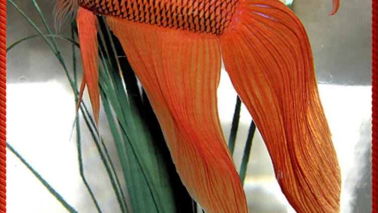 Should Betta Fish Breeders Stop Breeding Veil Tail Bettas?