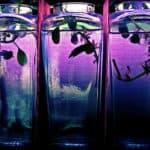 Lethargic Betta Floating Vertically