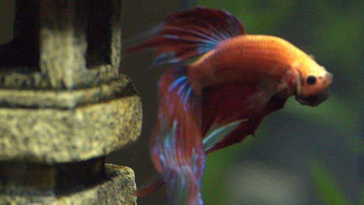 Can Betta Fish Regrow their Fins?
