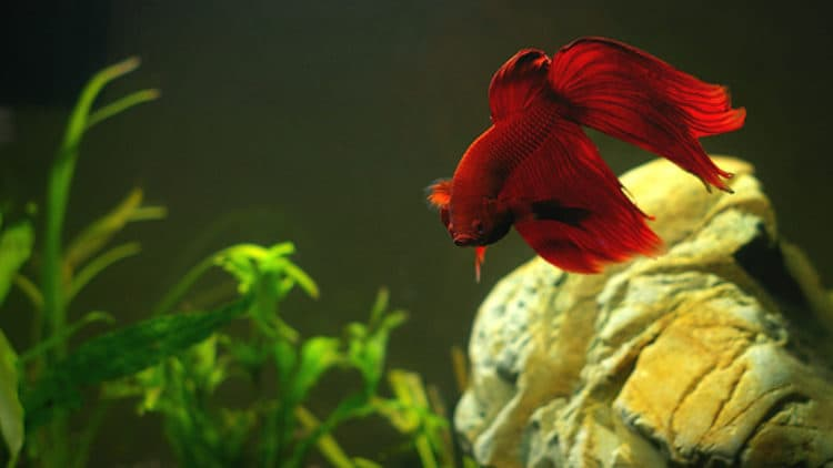 Betta fish care betta fish care for fighting fish for Cotton wool disease in fish