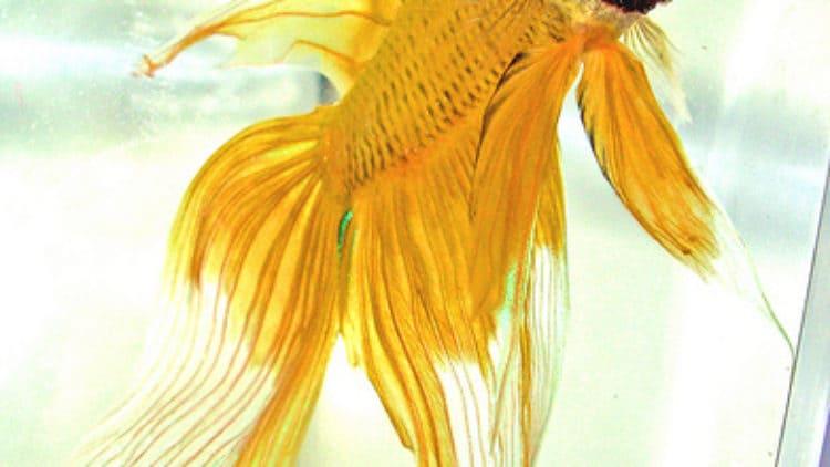 New Betta Fish Isn't Very Active