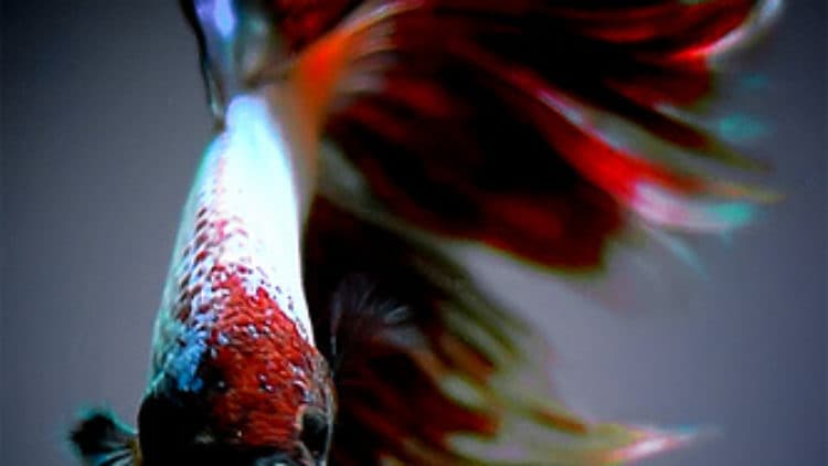 Betta fish care betta fish care for fighting fish for Erythromycin for fish